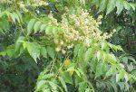 Bálványfa méz 250g